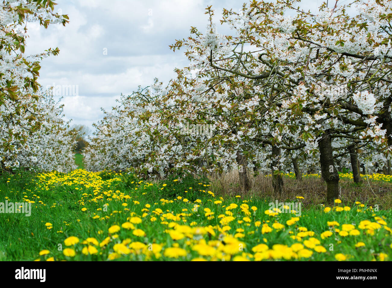 Beautiful Cherry Orchard With White Flowers Trees In A Row Sussex