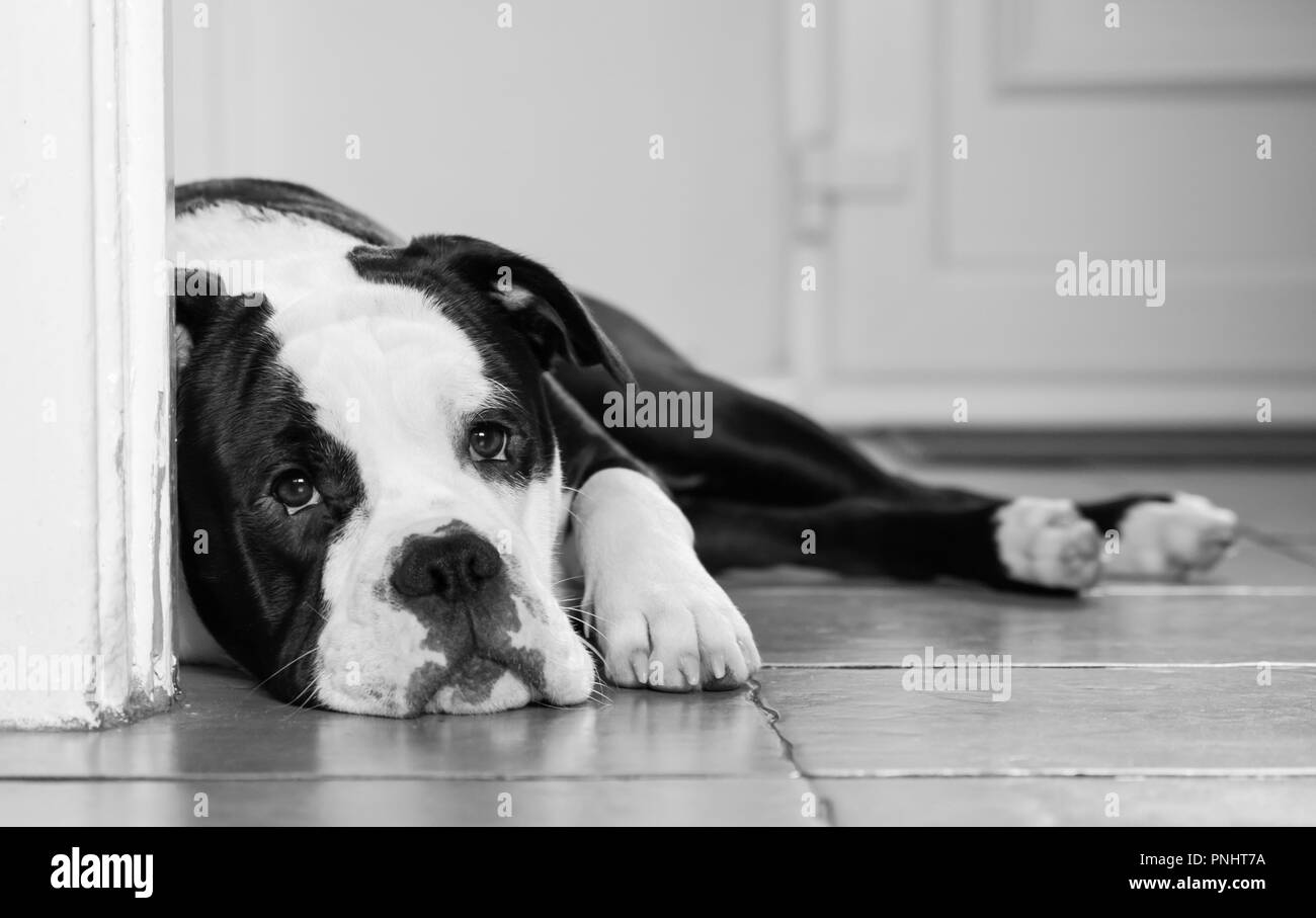 American Bulldog Black And White Stock Photos Images Alamy