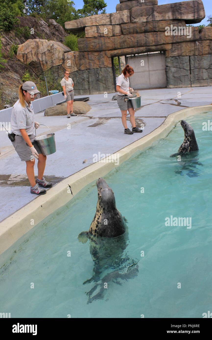 Rescued Grey Seals at feeding Time, Aquarium du Quebec, Canada - Stock Image