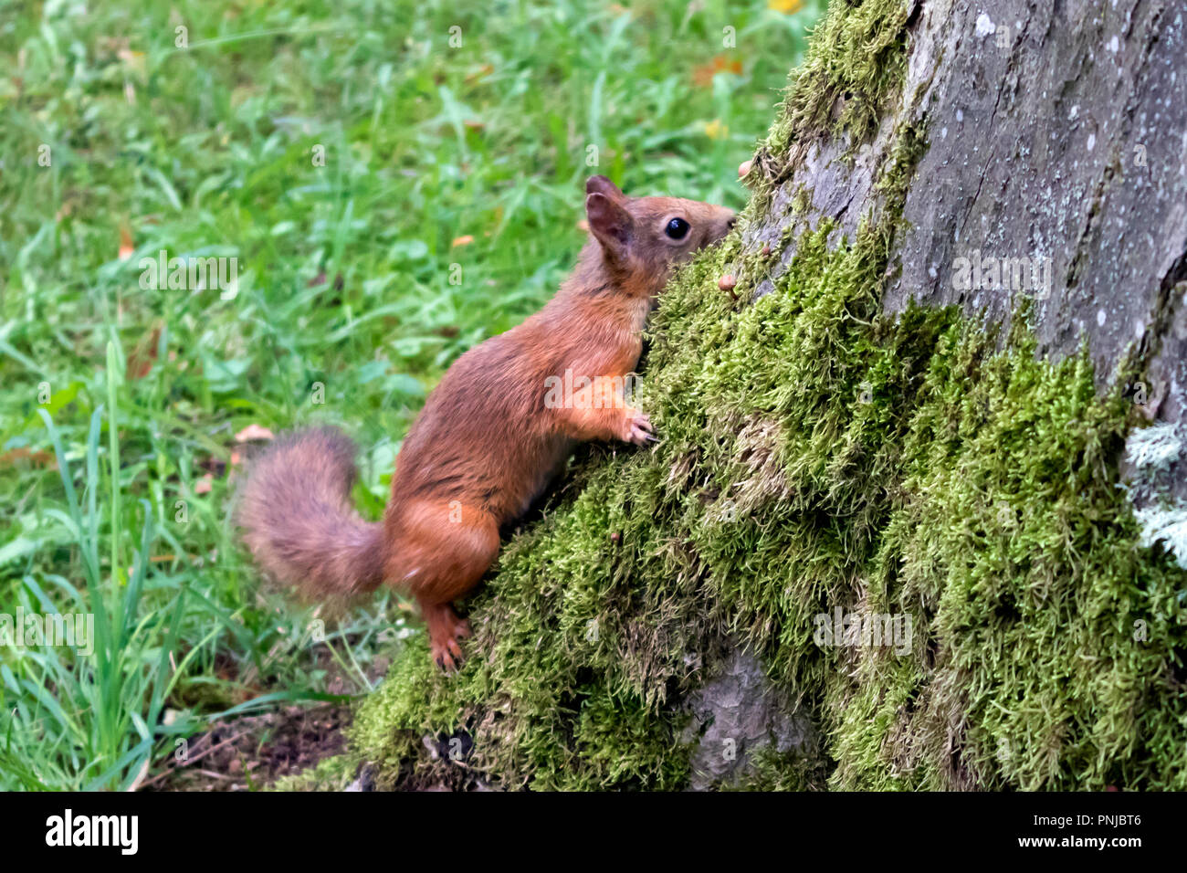 Cute red squirrel with fluffy tail sitting on a large old trunk overgrown with green moss - Stock Image