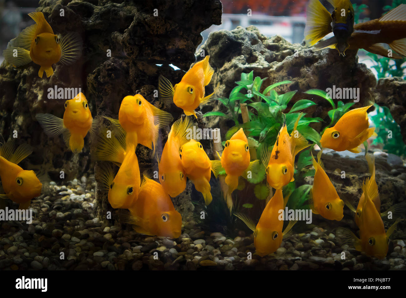 A flock of curious orange fish parrots in the aquarium looking directly into the camera. Darkened vignette - Stock Image