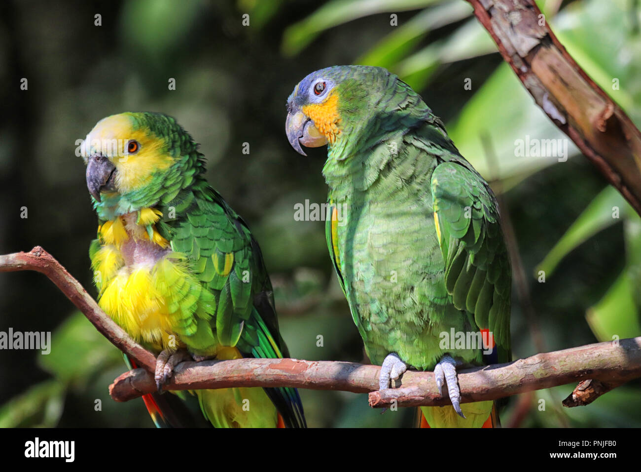 Parrot at Parque des Aves in Foz do Iguacu ( Brazil ) - Stock Image