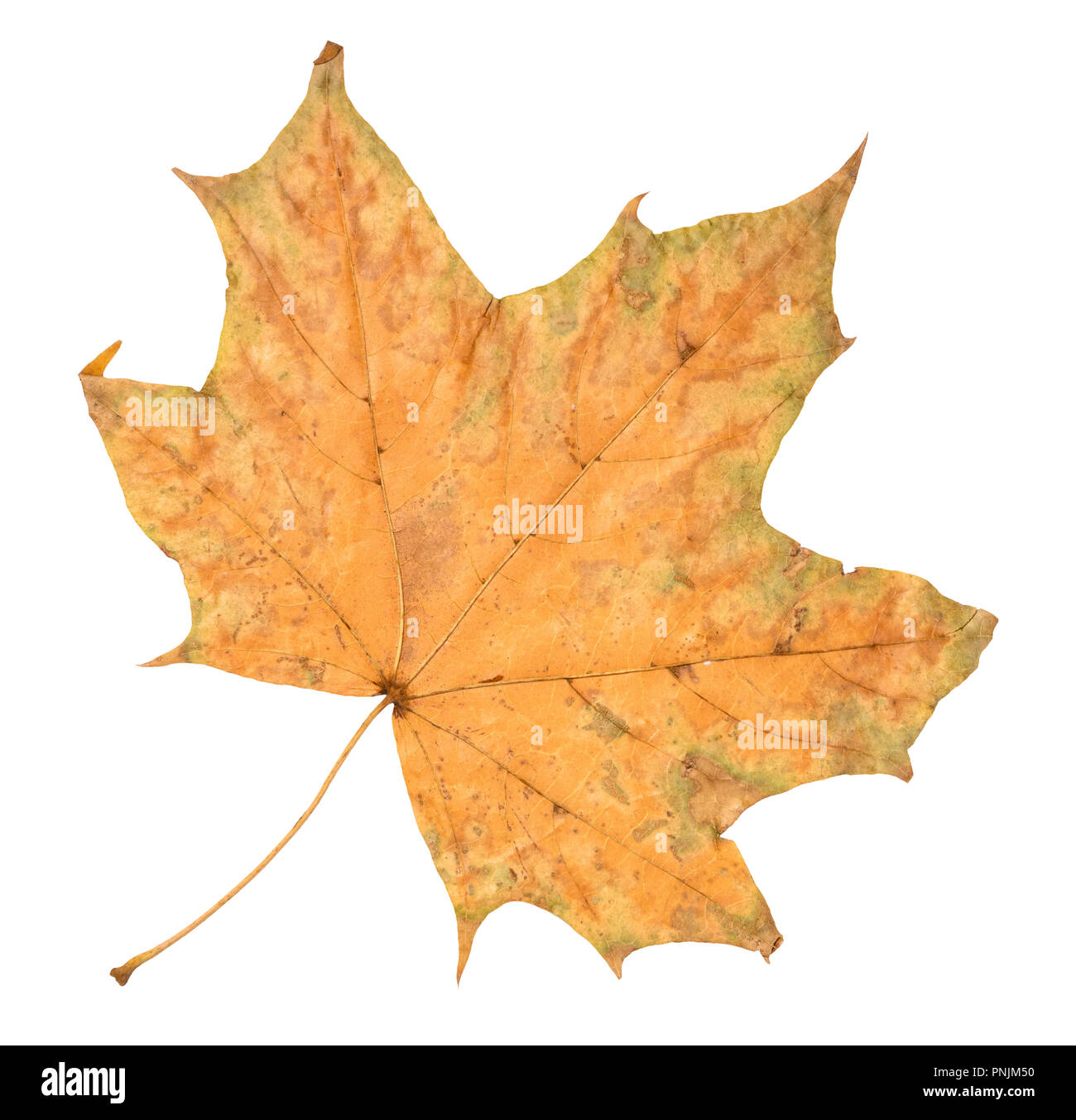 dried fallen autumn leaf of maple tree cut out on white background Stock Photo