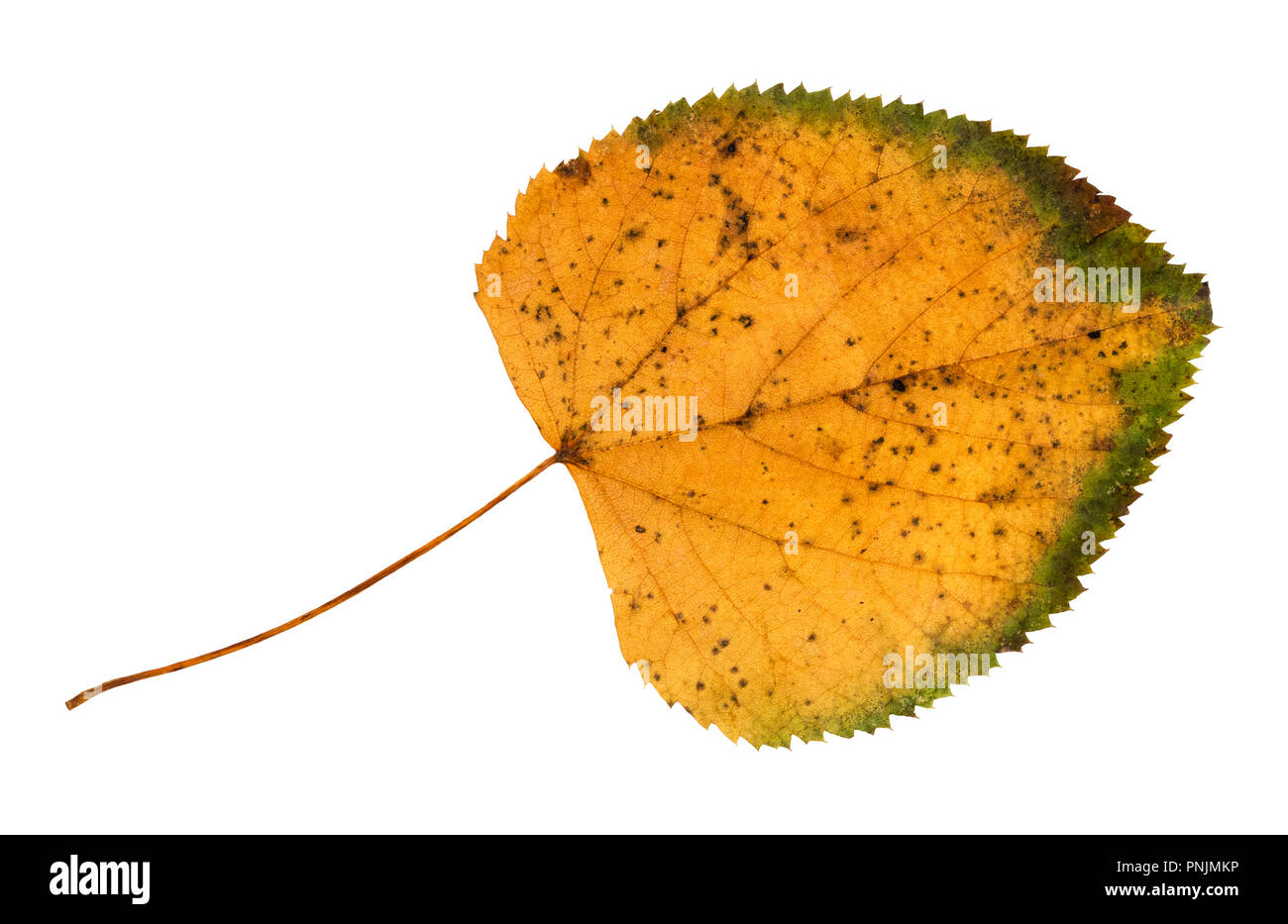 dried fallen autumn leaf of lime tree cut out on white background Stock Photo