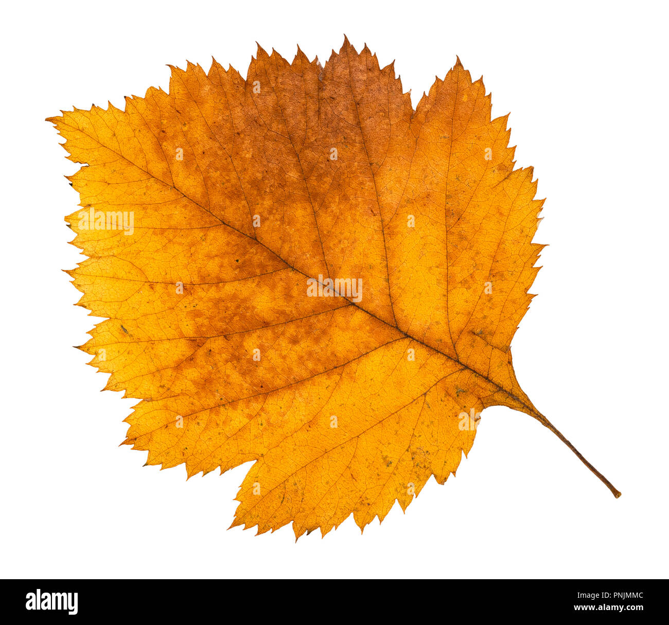 dried fallen autumn leaf of hawthorn tree cut out on white background Stock Photo