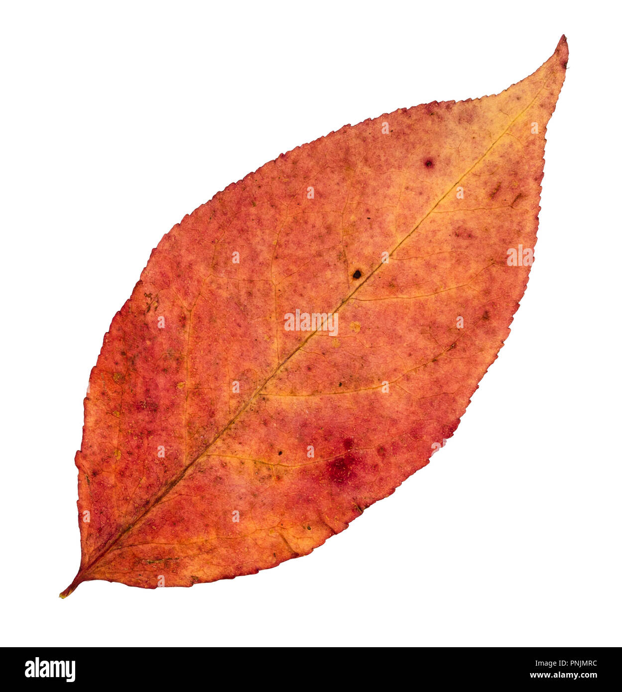 dried fallen varicoloured autumn leaf of willow tree cut out on white background - Stock Image