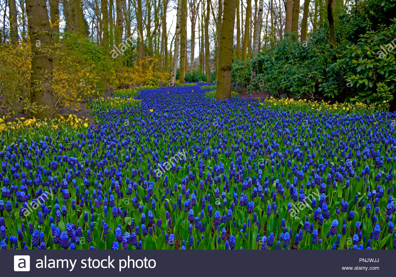 Keukenhof, Muscari Latifolium, also known as the Garden of Europe, is one of the world's largest flower gardens, in Lisse, South Holland, Netherlands Stock Photo