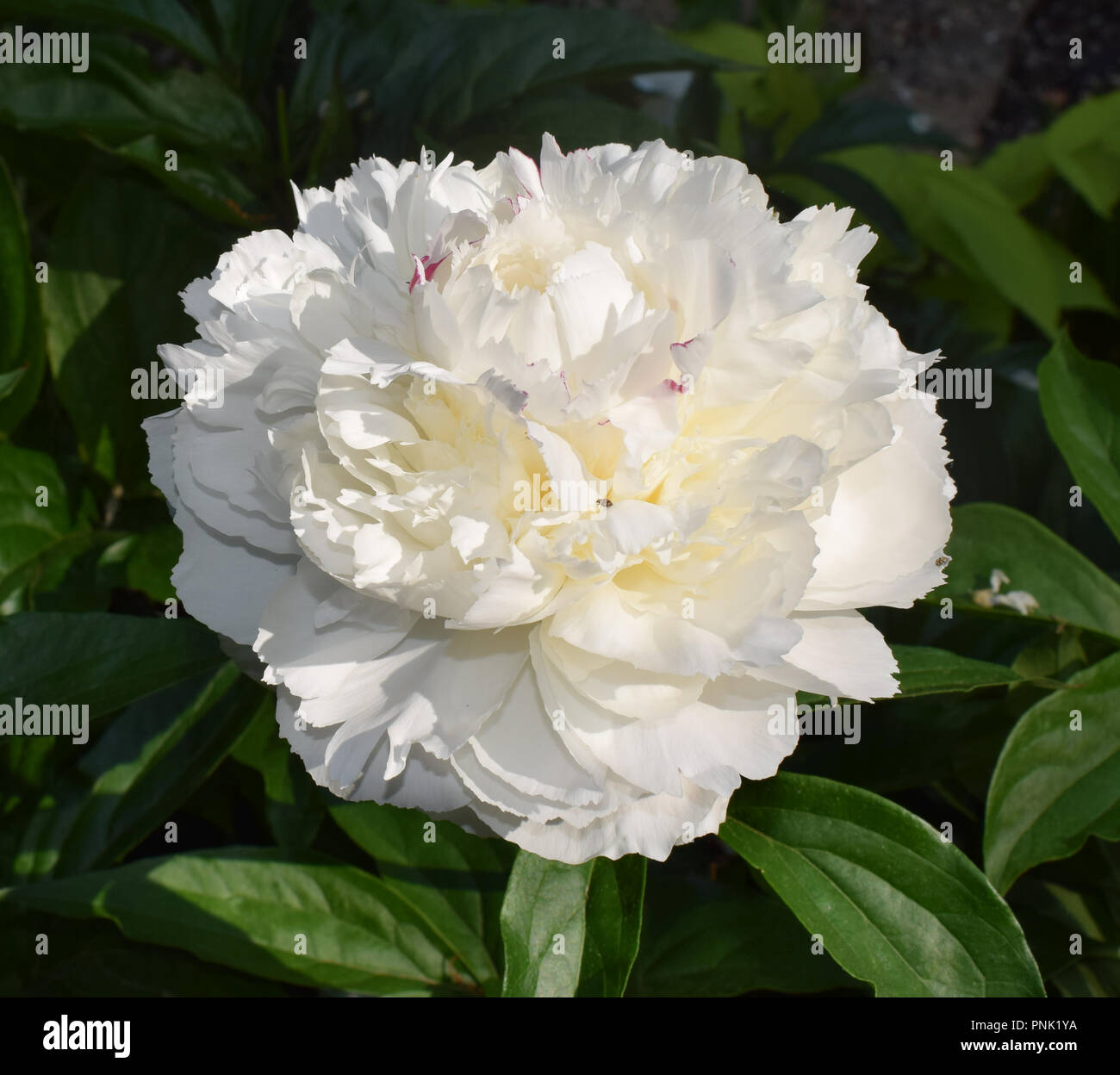 Close-up of a white peony with a buttery yellow center and a single hoplia beetle floundering in its dense petals. - Stock Image