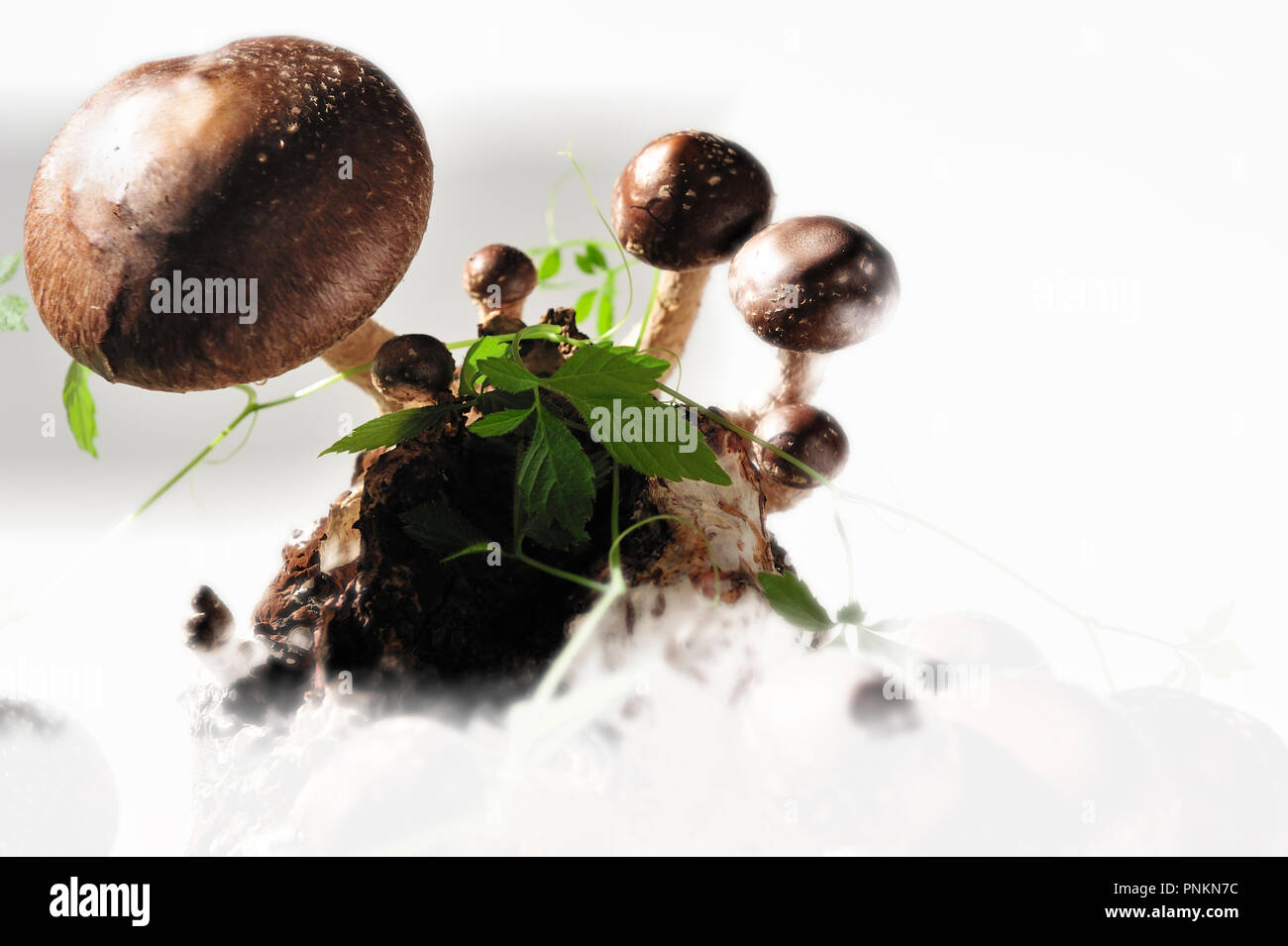 The Shiitake (Lentinula edodes) is an edible mushroom native to East Asia, which is cultivated and consumed in many Asian countries, as well as being  Stock Photo