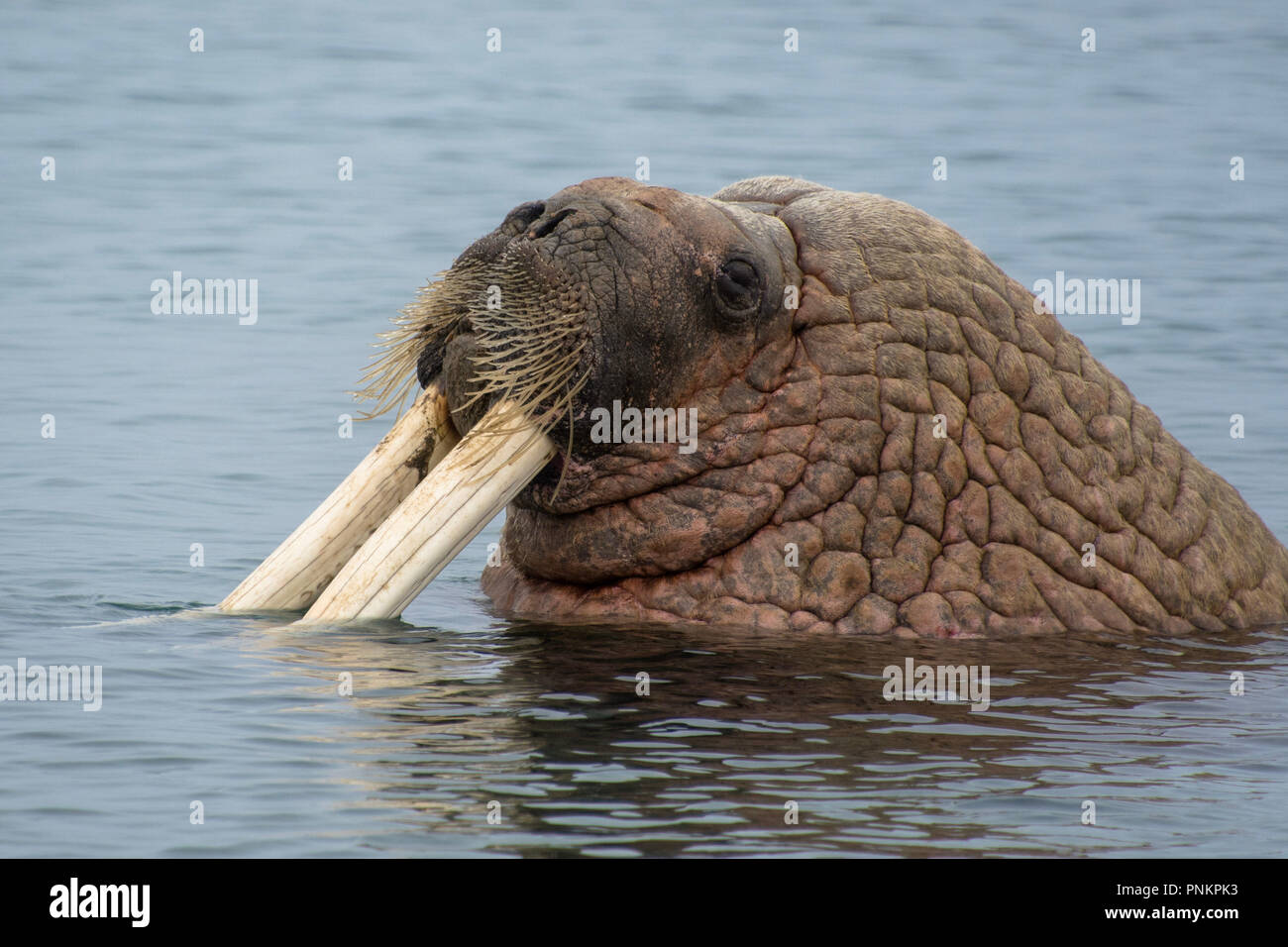 A beautiful Walrus shot in the polar arctic Circle. Svalbard - Norway Stock Photo
