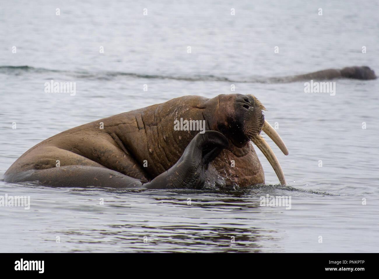 A beautiful Walrus shot in the polar arctic Circle. Svalbard - Norway Stock Photo