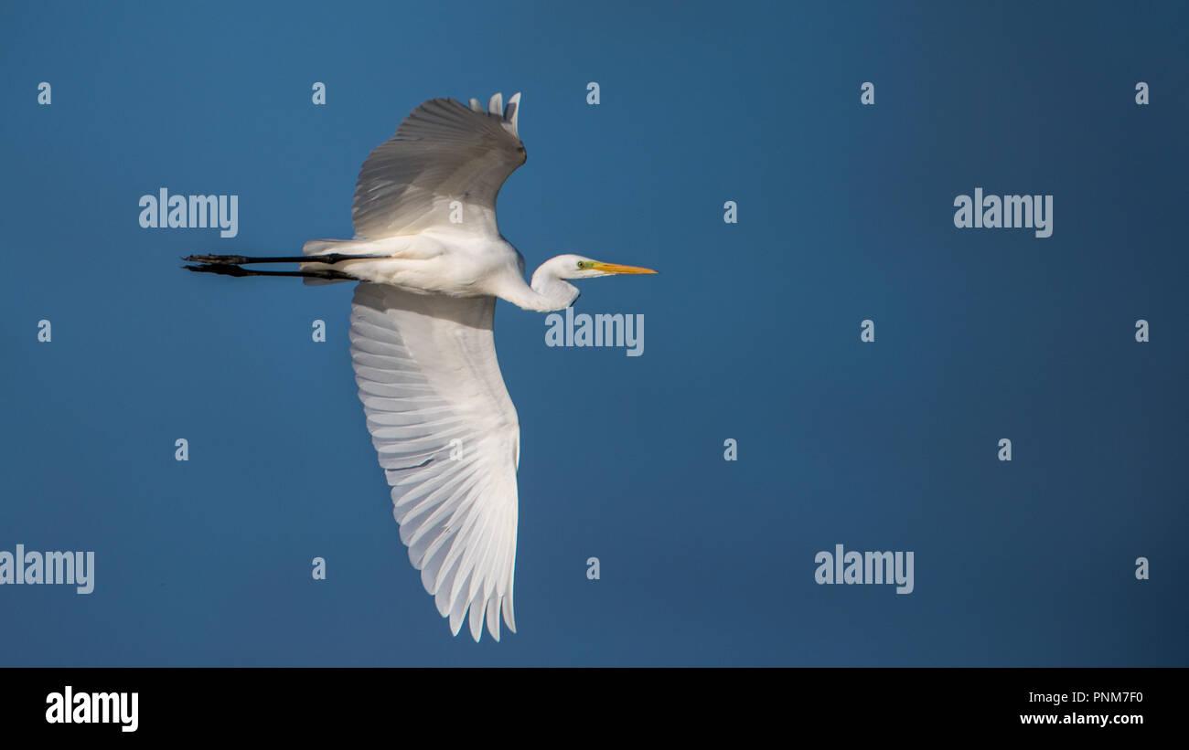 Great Egret's (Casmerodius albus) flight  in the marshland of Hjalstayviken - Stock Image