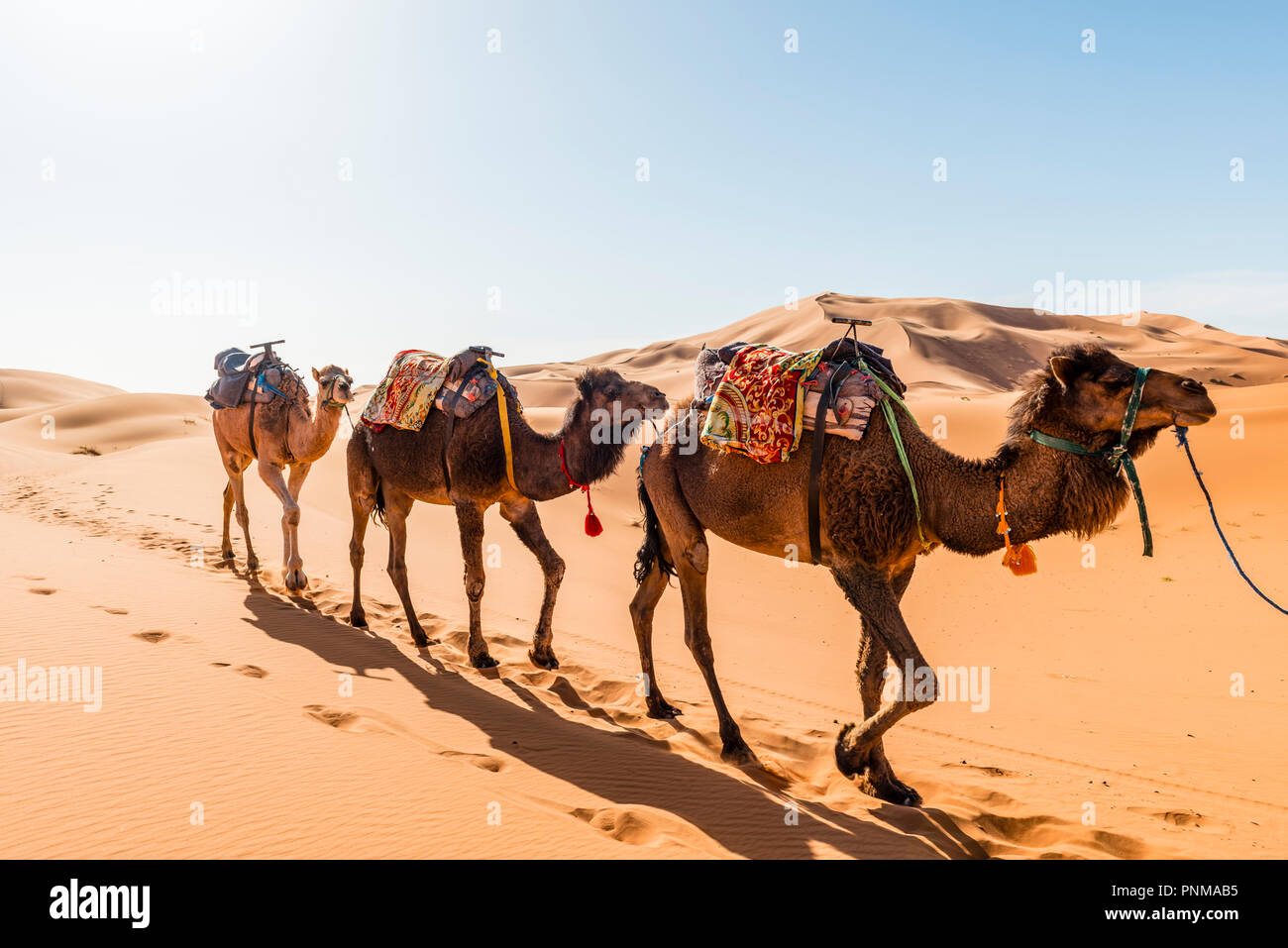 Three Dromedaries (Camelus dromedarius), caravan, run in sand dunes in the desert, Erg Chebbi, Merzouga, Sahara, Morocco - Stock Image