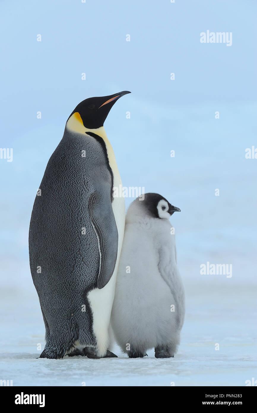 Emperor penguins, Aptenodytes forsteri, with a Chick, Snow Hill Island, Antartic Peninsula, Antarctica - Stock Image