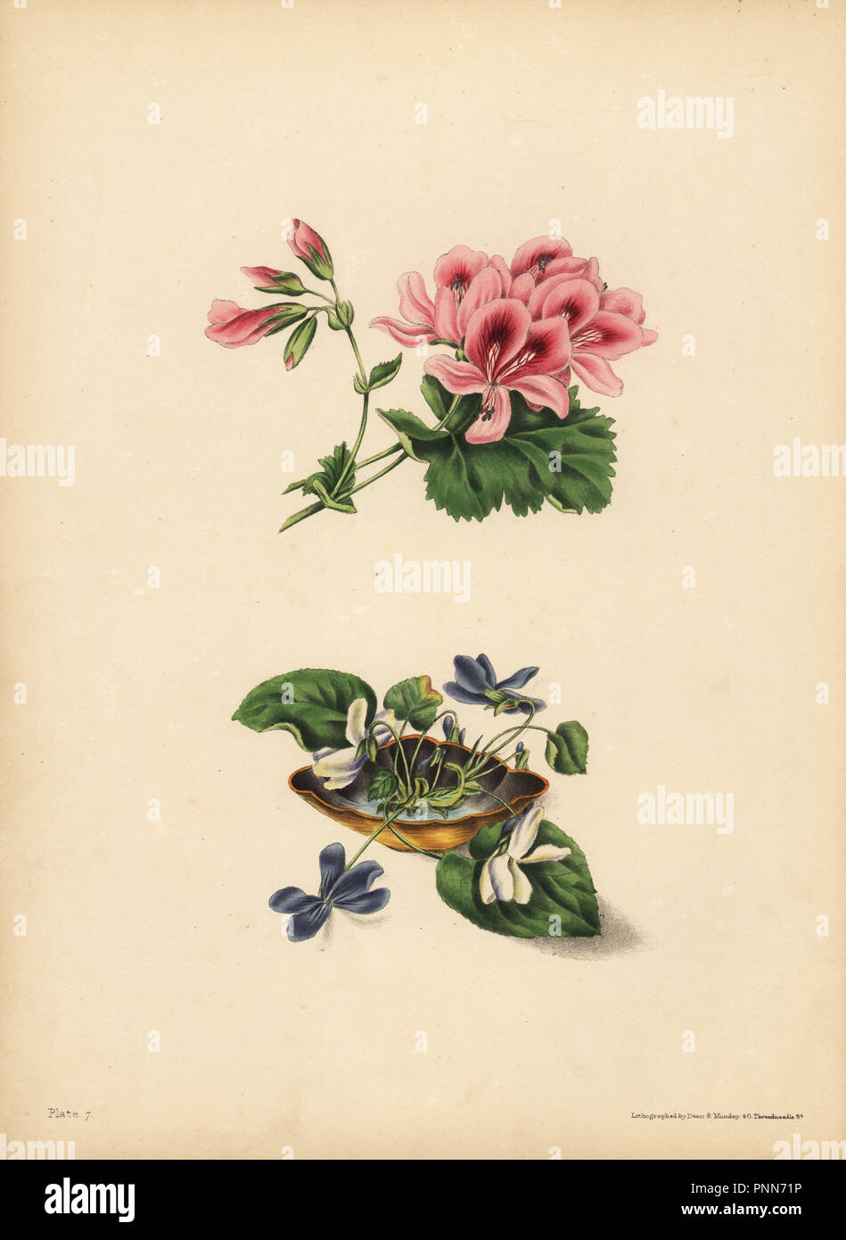 Smith's Geranium, Preference; The sweet purple and white flowered Violets, Purity of sentiment, candour, modesty & innocence. Handcoloured lithograph by Dean and Munday after an illustration by Eliza Eve Gleadall from The Beauties of Flora, with botanic and poetic illustrations, being a selection of flowers drawn from nature arranged emblematically, Heath Hall, Wakefield, 1834. - Stock Image