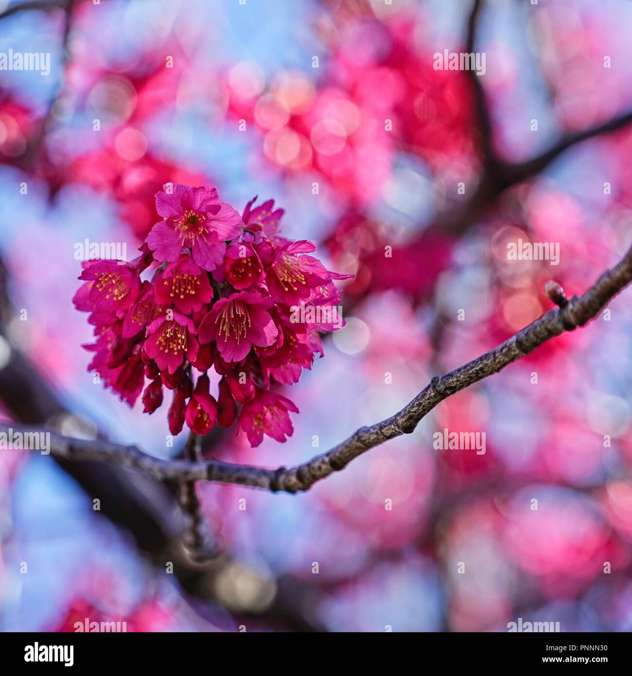 Bright Pink Prunus Flowers And Branches Closeup In A Square
