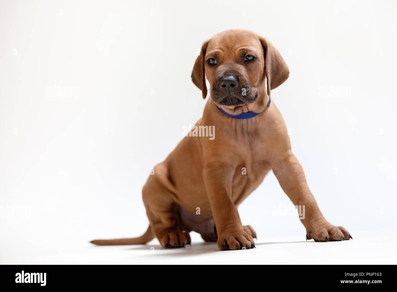 A Rhodesian Ridgeback puppy - Stock Image