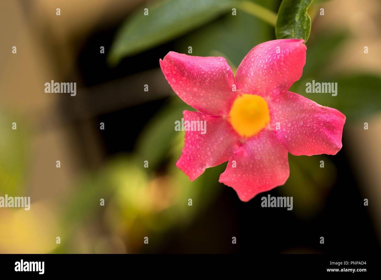 Small pink flower with a yellow inner circle with water droplets - Stock Image