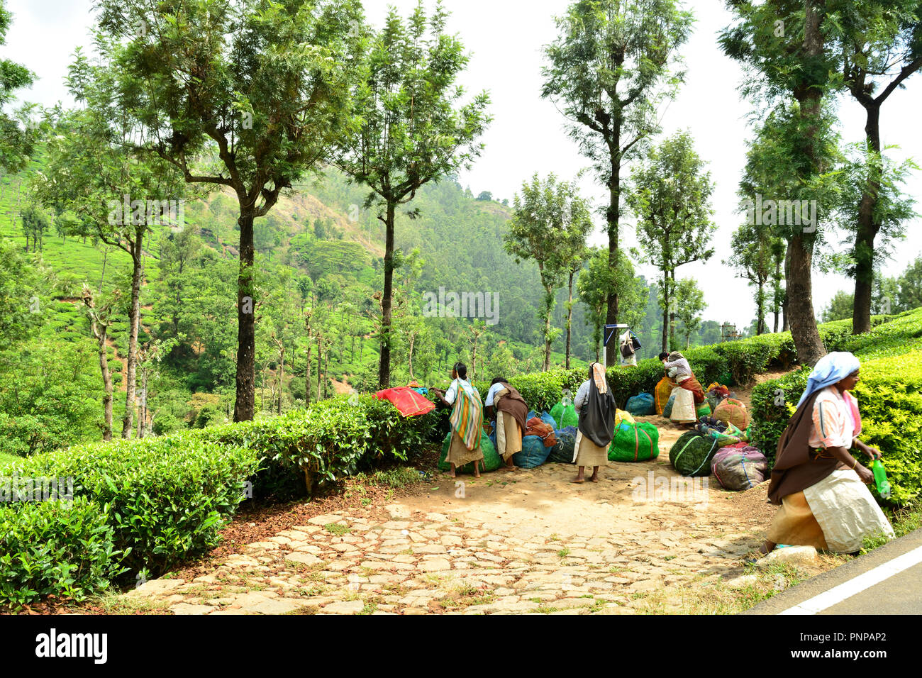 Munnar, Kerala, India, Tea garden & Labourers - Stock Image
