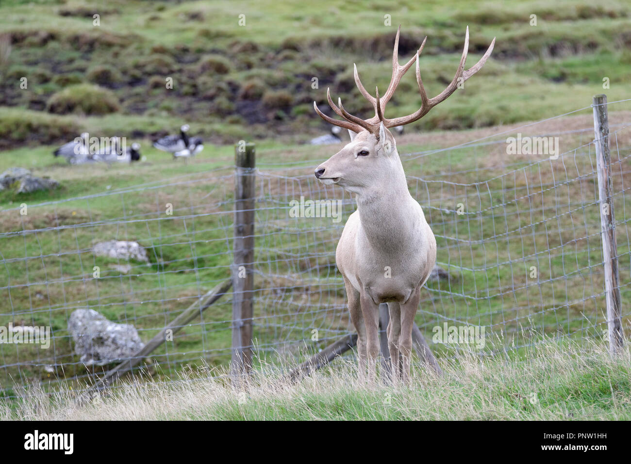 Bukhara or Bactrian Deer - Cervus elaphus bactrianus  From Central Asia - Stock Image