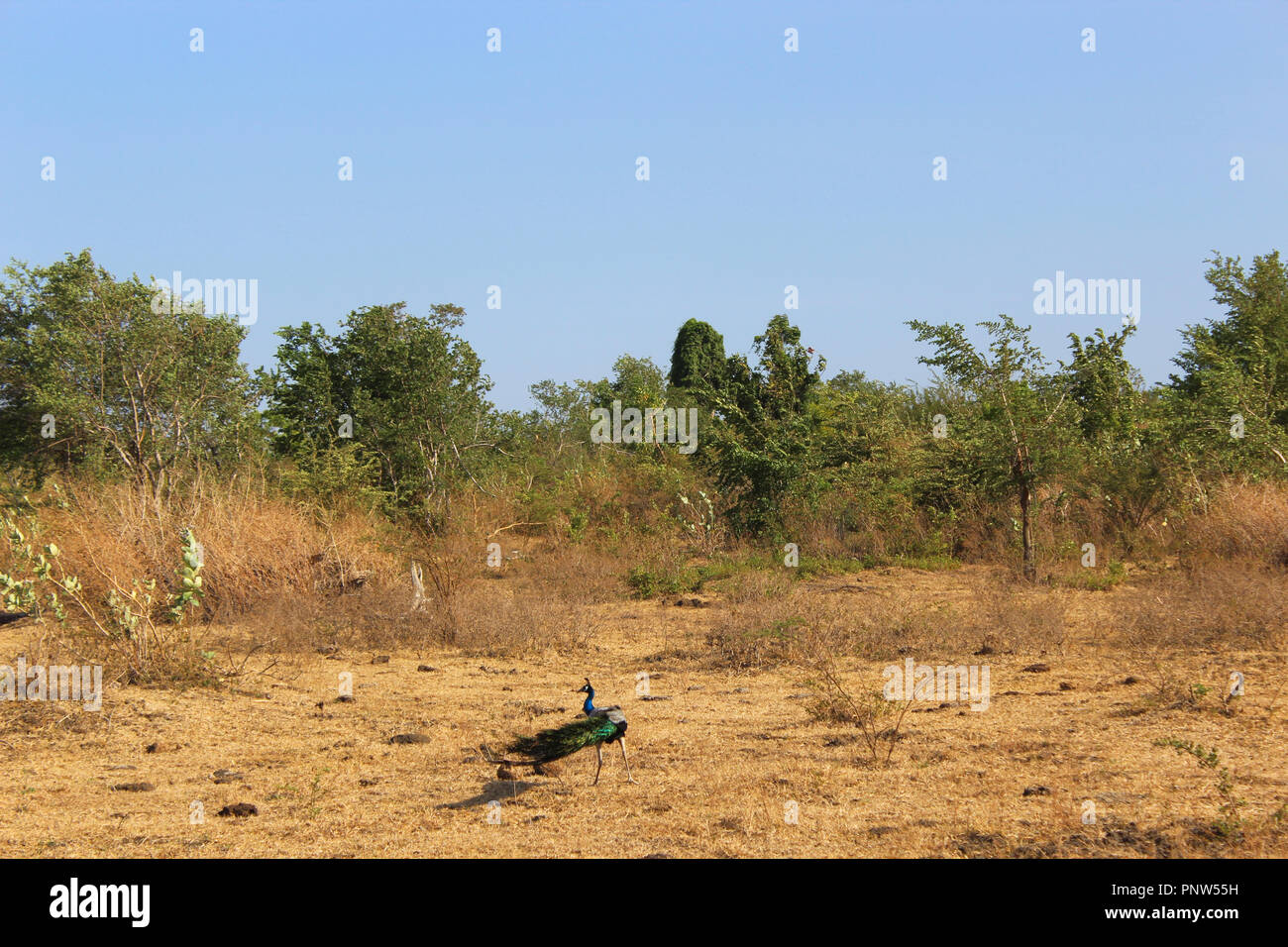 Peacock runs over dry deserts ground - Stock Image