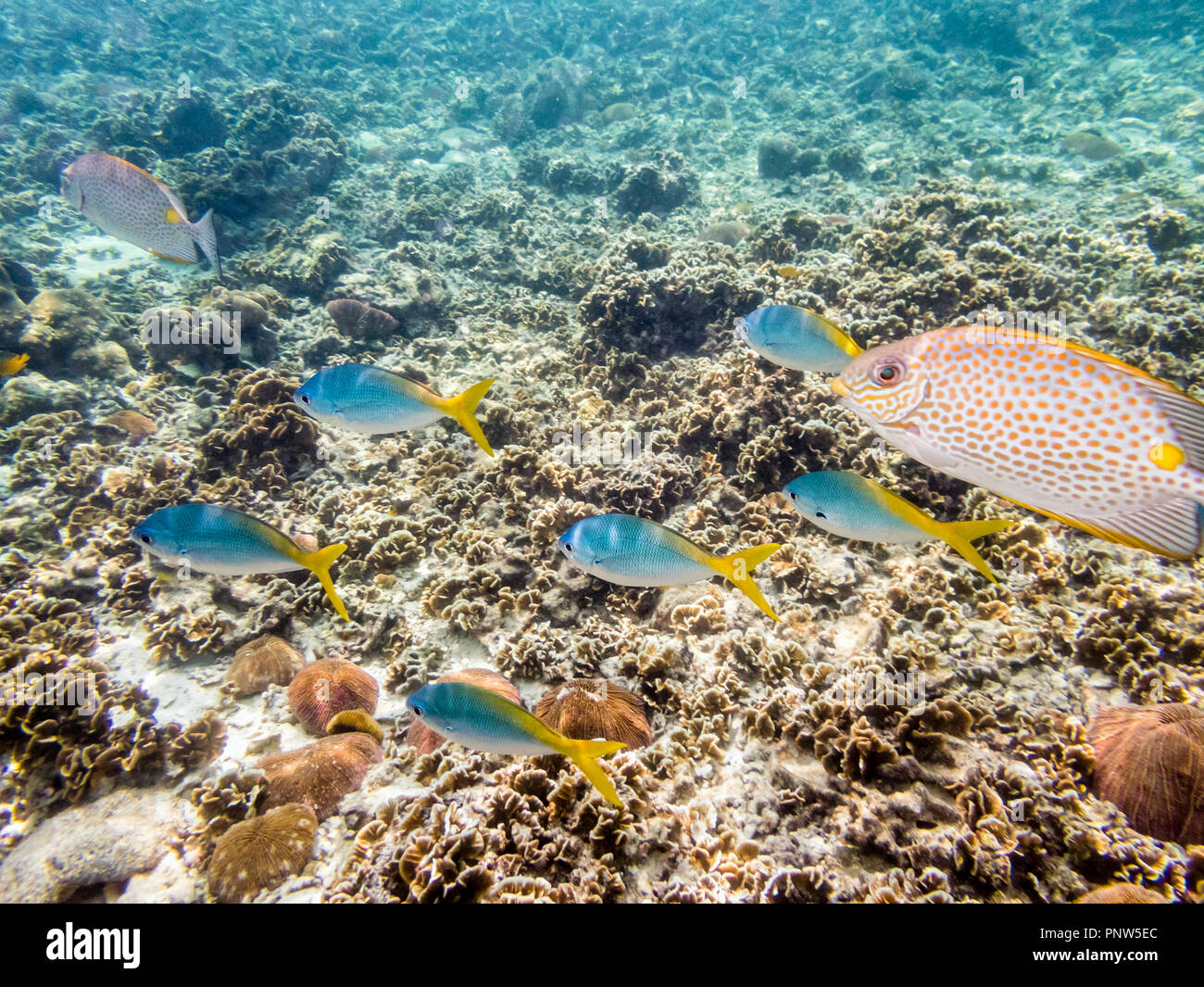 Underwater photos of group Yellowback Fusilier or Caesio Xanthonota is a beautiful sea fish swimming above the coral reefs at Koh Nang Yuan island in  Stock Photo