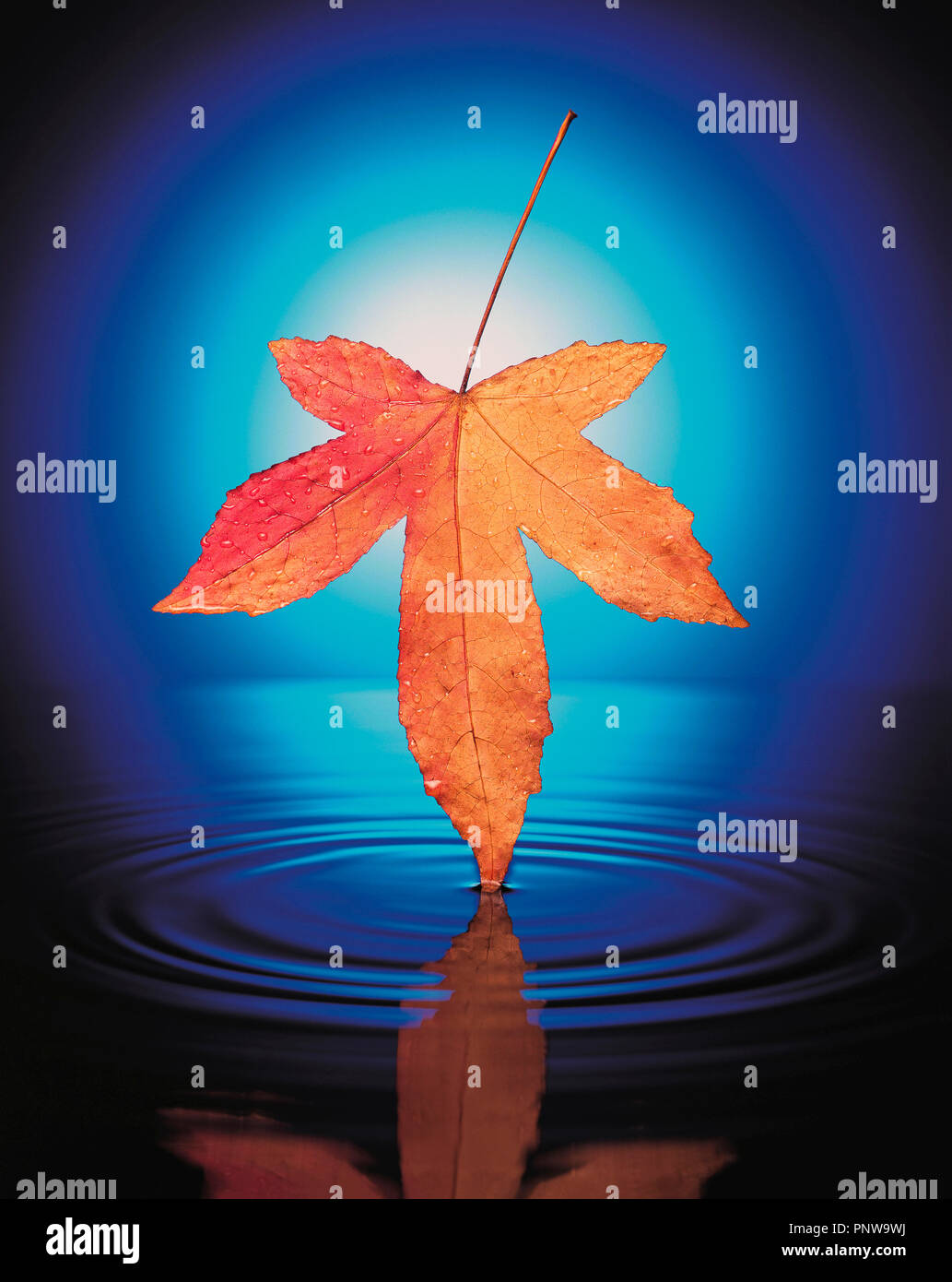Still life art photograph concept of autumn Maple leaf over water. - Stock Image