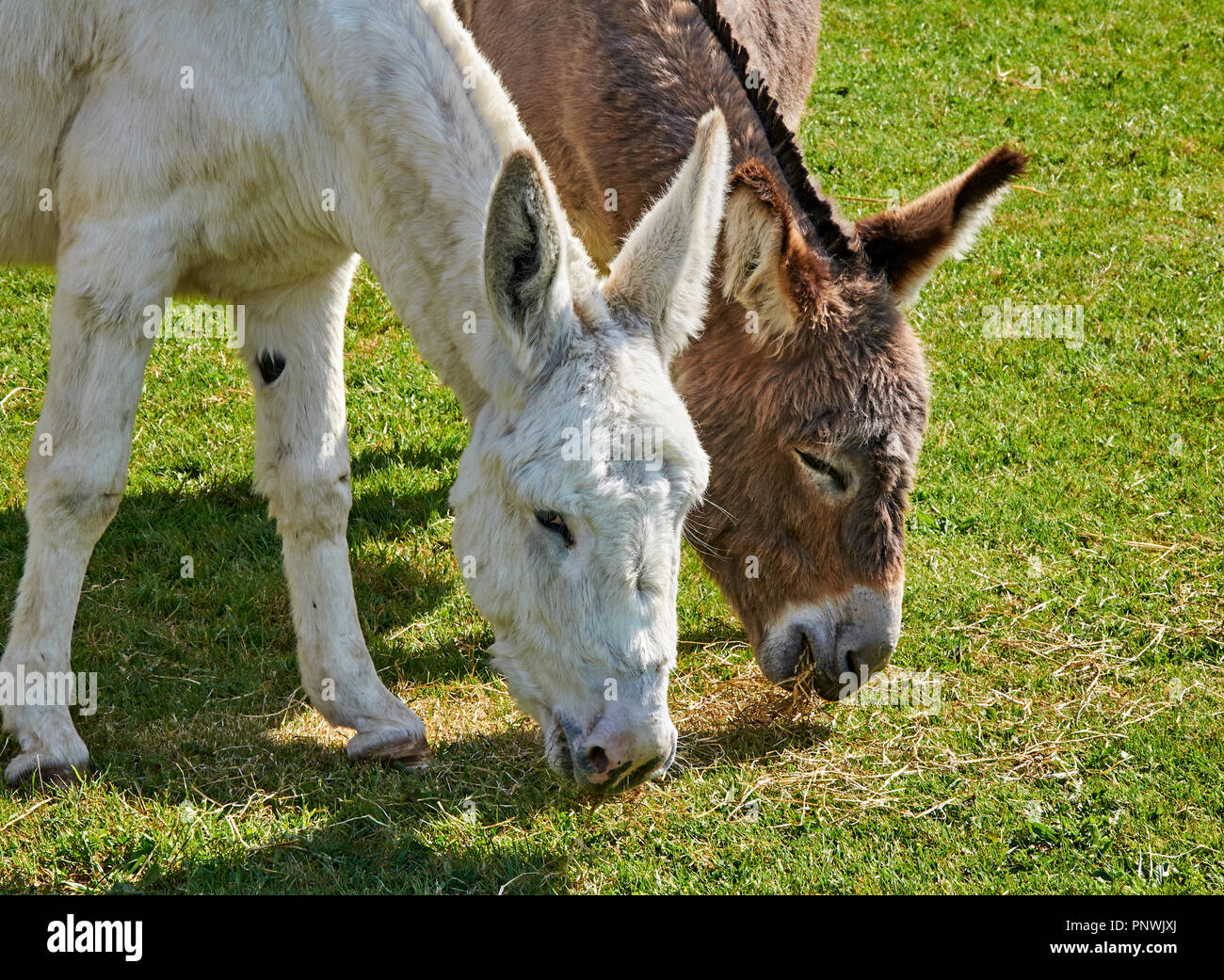 Two donkeys grazing side by side - Stock Image