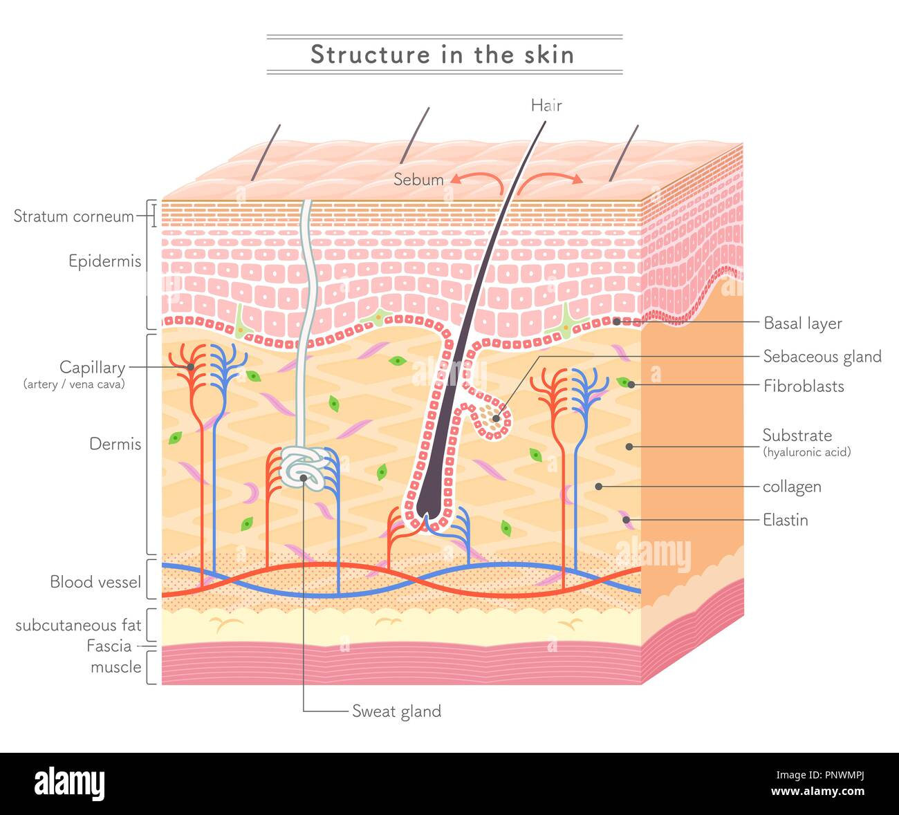 Structure in the skin_English notation - Stock Image