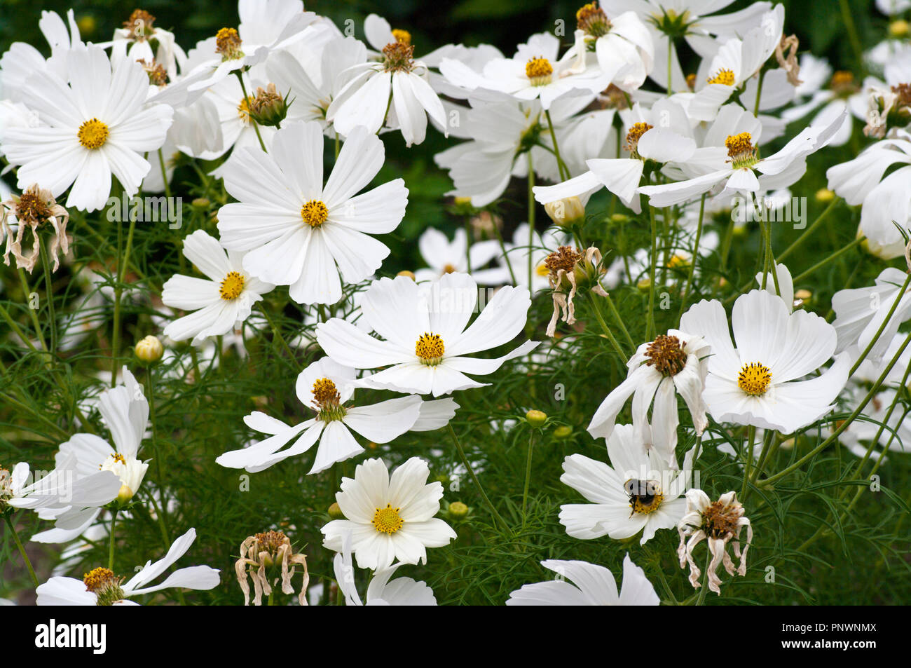White Cosmos Flowers Stock Photo 219998042 Alamy