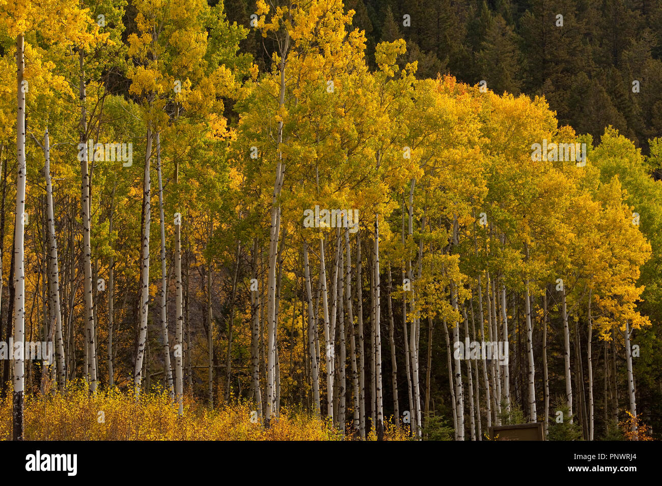 Farbiges Laub am Bow Valley Parkway Stock Photo