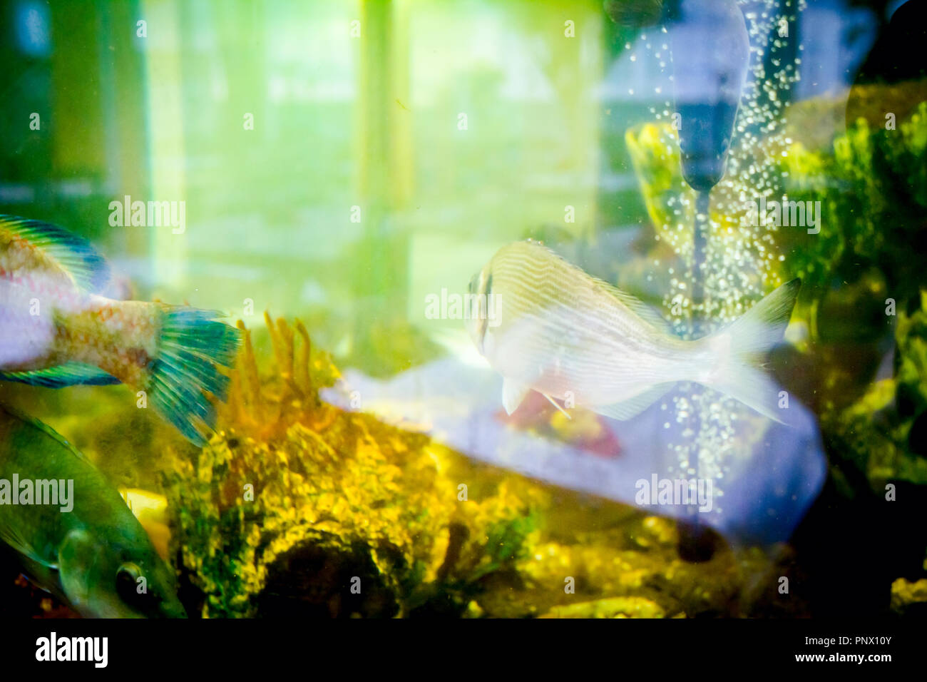 Live various fishes are in aquarium, tank at traditional seafood restaurant for sale, sea shells. - Stock Image