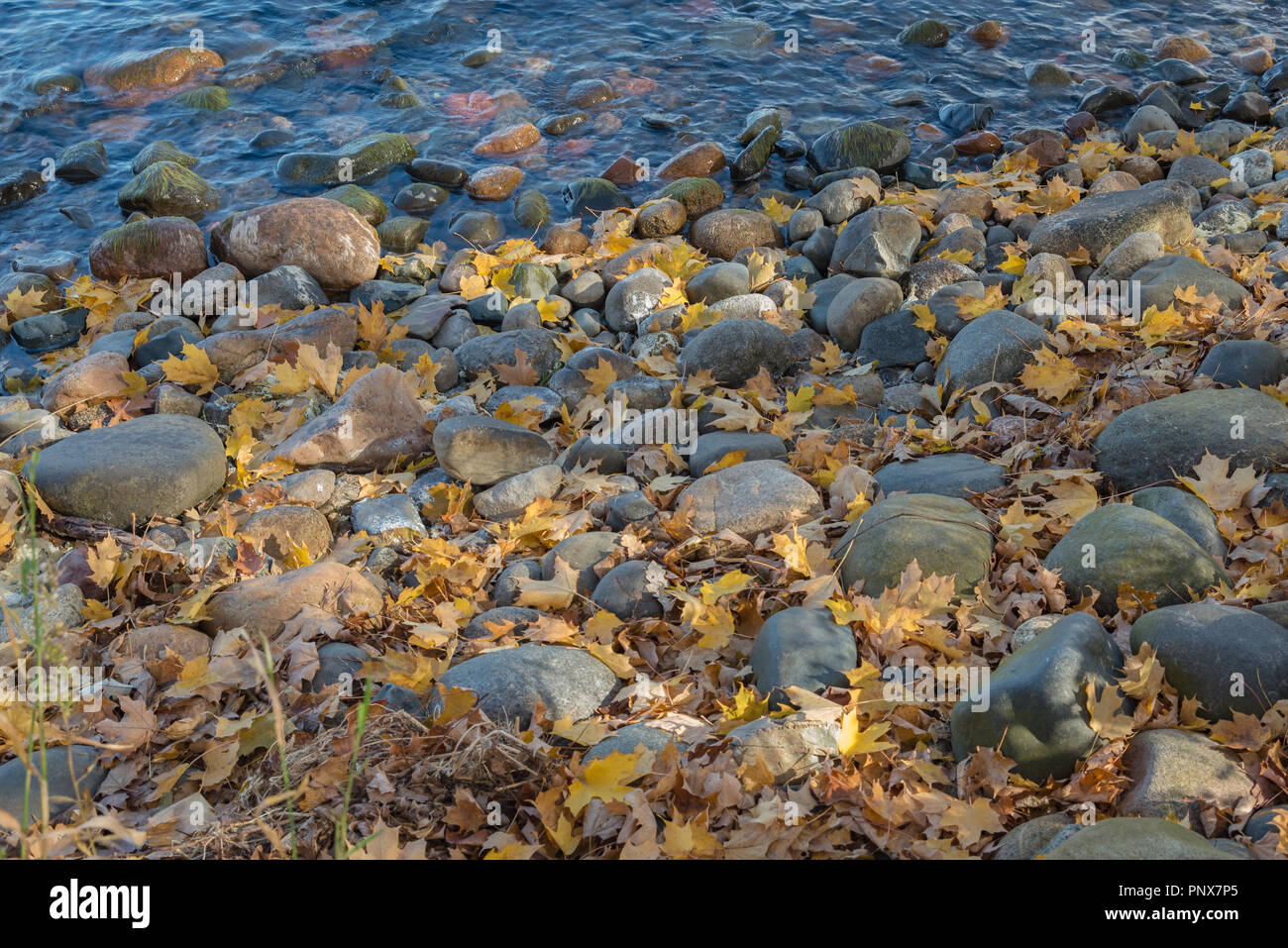 Fallen yellow leaves fill the spaces between rounded rocks lining the lake shore at Father Hennepin State Park in northern Minnesota - Stock Image