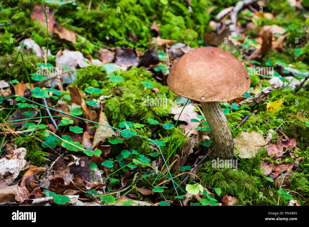 Brown birch rough stalk edible fungi on a woodland floor in Autumn. Related to the Cep or Penny Bun in the bolete family. - Stock Image