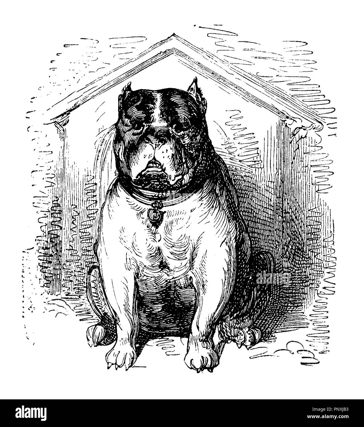 Imposing bulldog takes seriously its watch dog role, vintage print - Stock Image