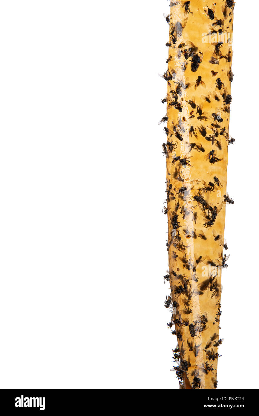 Sticky flypaper with glued flies, trap for flies or fly-killing device. On white background with copyspace. Also known as fly strip or fly ribbon Stock Photo