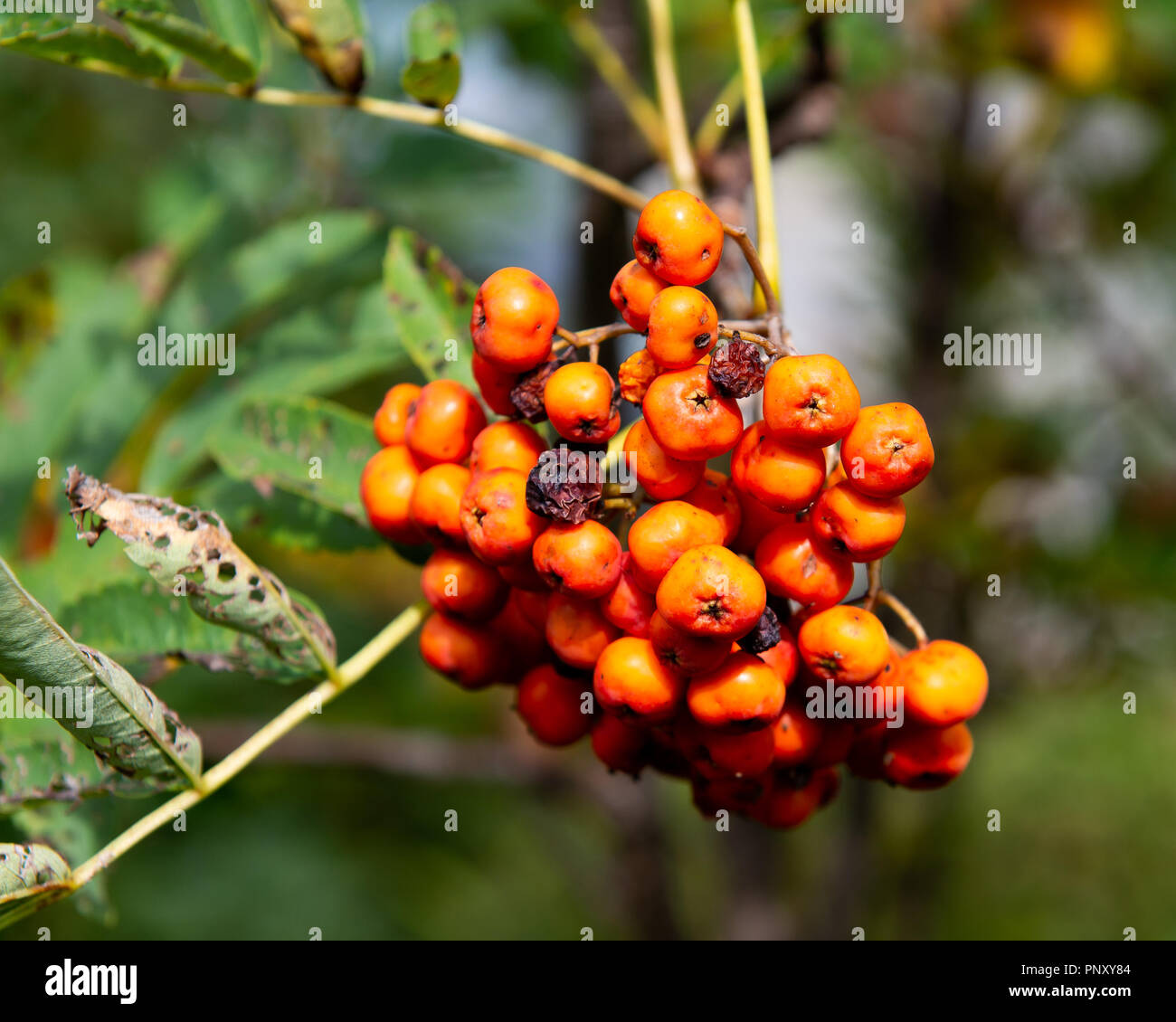 Orange berries on a Mountain-Ash tree, Sorbus Americanus, in early autumn in the Adirondack Mountains, NY USA Stock Photo