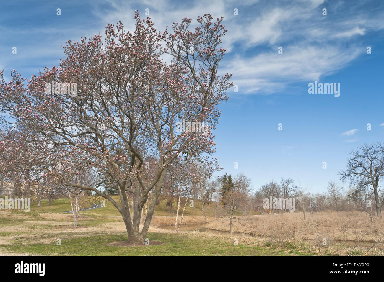 Pink buds of a saucer magnolia stand out against a backdrop of blue sky and wispy white cirrus clouds on a spring day at St. Louis Forest Park. - Stock Image