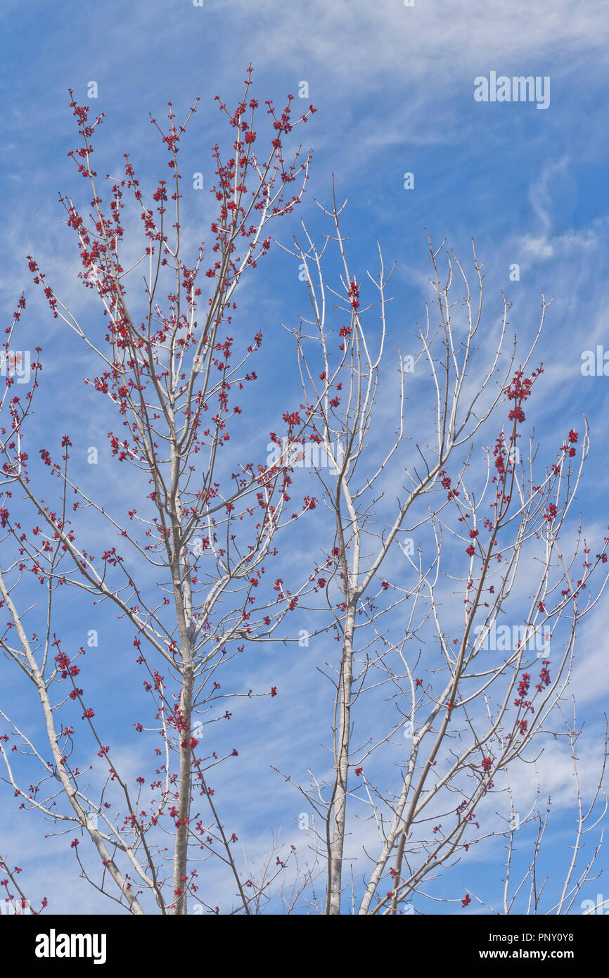 Branches of a budding red maple with wispy white clouds and blue sky in background on a spring day, emulating the color scheme of the American flag. Stock Photo