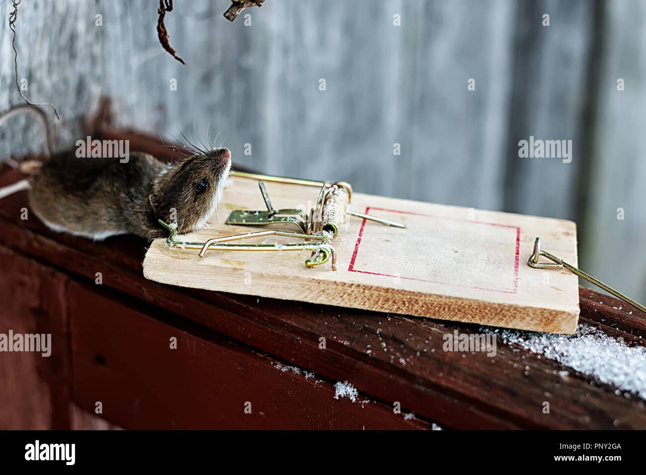 mouse in a mousetrap - Stock Image