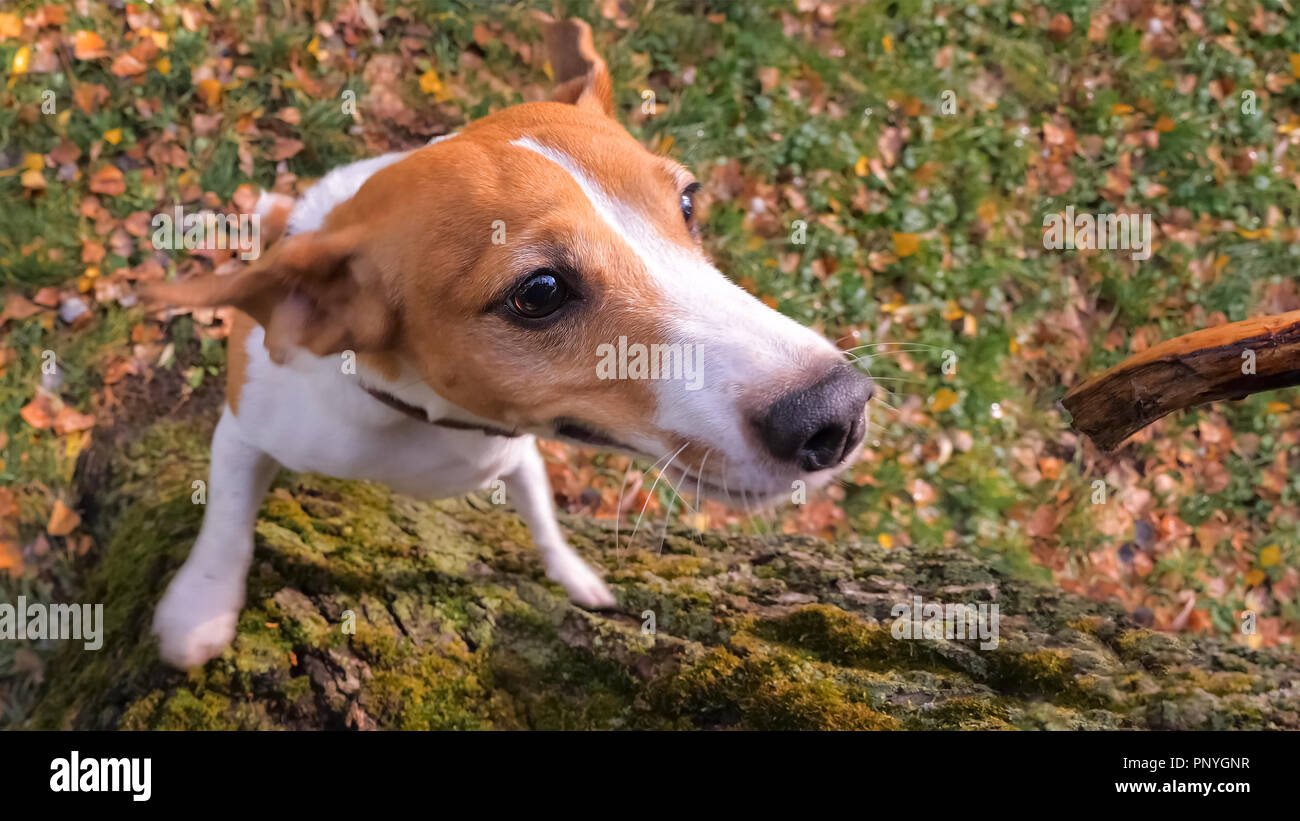 Jack Russell Terrier background. Dog training background. - Stock Image