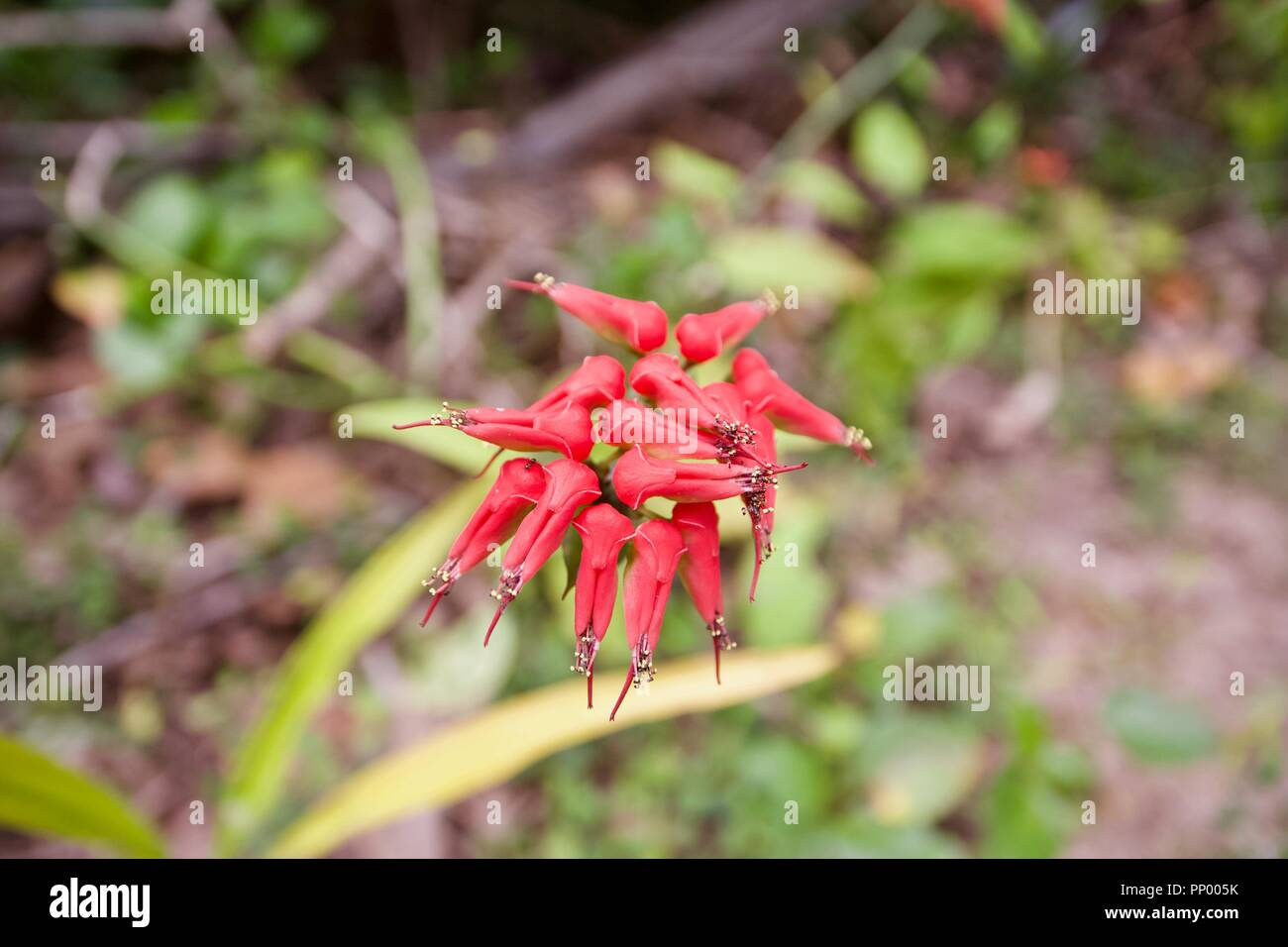 Euphorbia tithymaloides, also known as Pedilanthus tithymaloides, zigzag plant and Devil's backbone - Stock Image