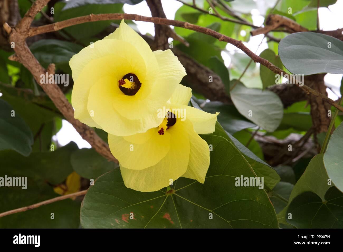 Hibiscus Tiliaceus Stock Photos Hibiscus Tiliaceus Stock Images