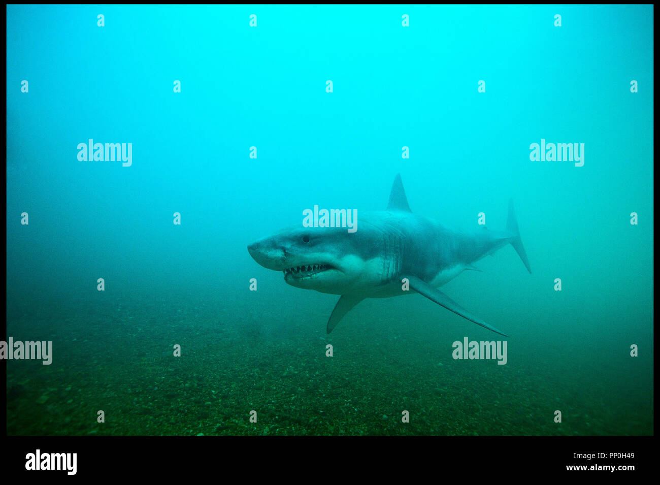 Prod DB © Incentive Filmed Entertainment - Next Films - Sierra Pictures / DR SHARK 3D (SHARK NIGHT 3D) de David R. Ellis 2011 USA requin, horreur Stock Photo