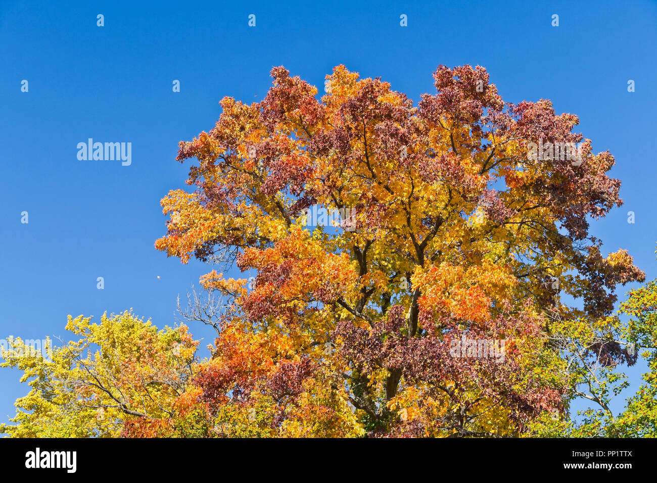 A sweetgum tree in a St. Louis park proudly displays its spectrum of majestic autumn colors: red, orange, yellow, green, and purple. - Stock Image
