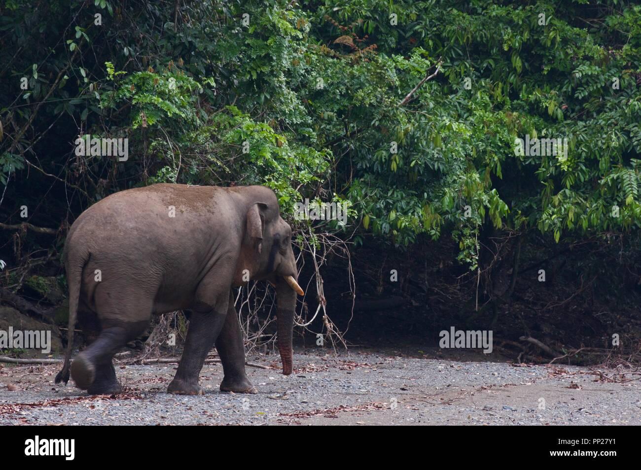 A Borneo Pygmy Elephant (Elephas maximus borneensis) in Danum Valley Conservation Area, Sabah, East Malaysia, Borneo - Stock Image