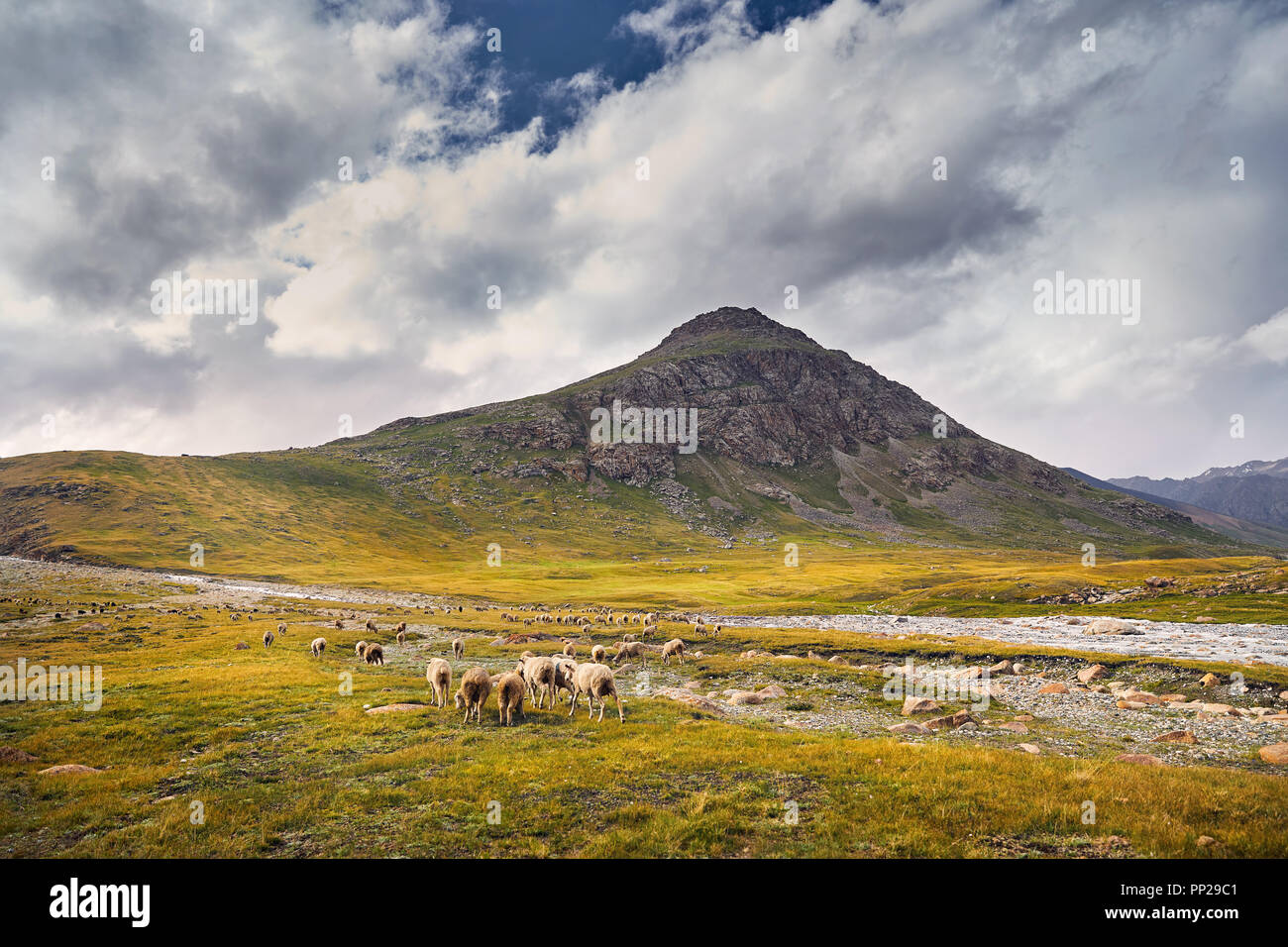 Sheep in near the river in Terskey Alatau mountains of Kyrgyzstan, Central Asia - Stock Image