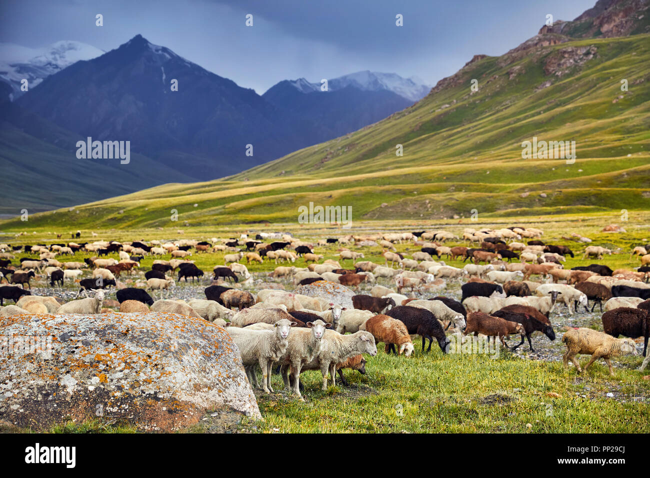 Sheep in near the rock in Terskey Alatau mountains of Kyrgyzstan, Central Asia - Stock Image