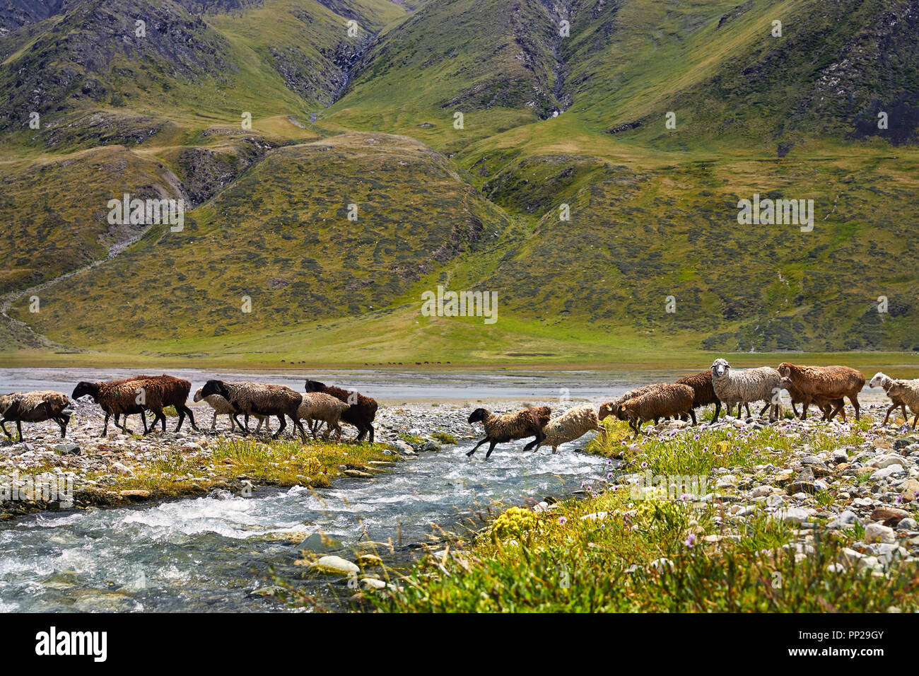 Sheep herd crossing the river in the mountain valley of Kyrgyzstan, Central Asia - Stock Image