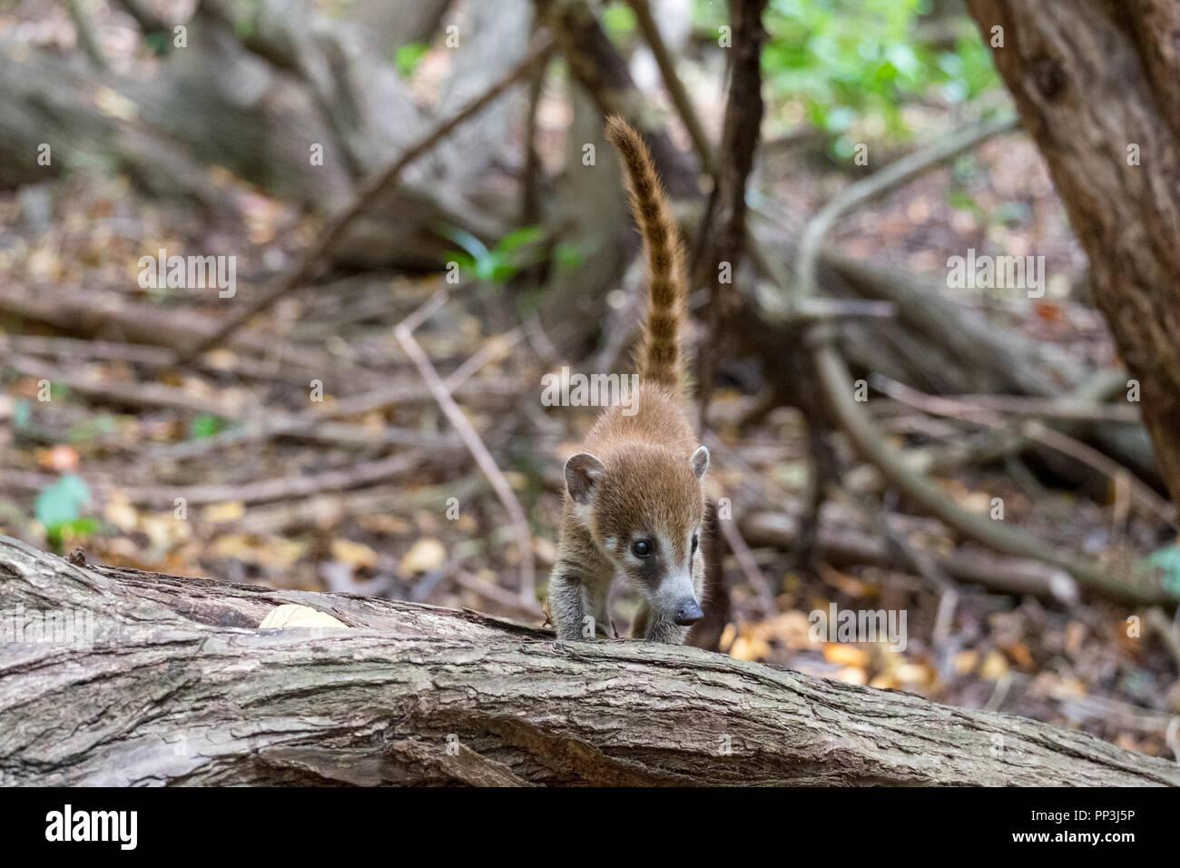 Baby Coati - Stock Image
